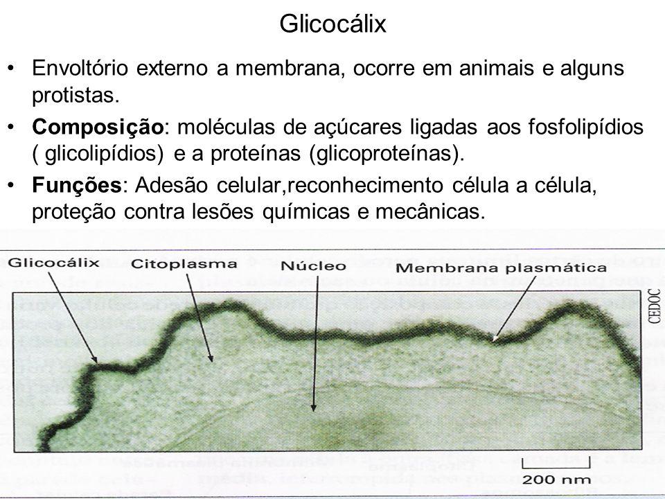 Glicocálix Envoltório externo a membrana, ocorre em animais e alguns protistas. Composição: moléculas de açúcares ligadas aos fosfolipídios ( glicolip