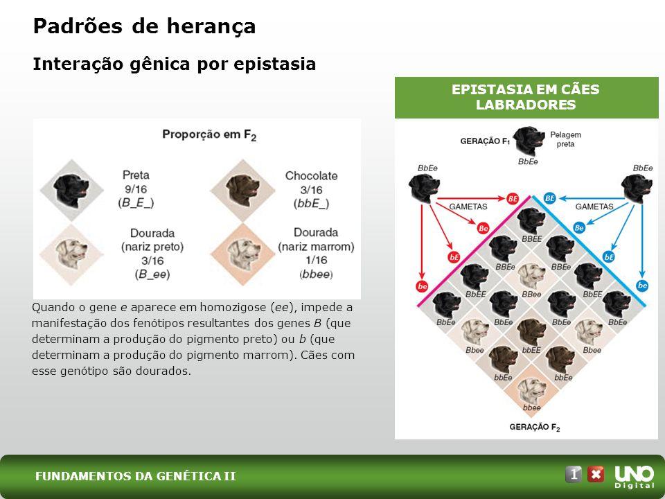 Padrões de herança Interação gênica por epistasia EPISTASIA EM CÃES LABRADORES Quando o gene e aparece em homozigose (ee), impede a manifestação dos f