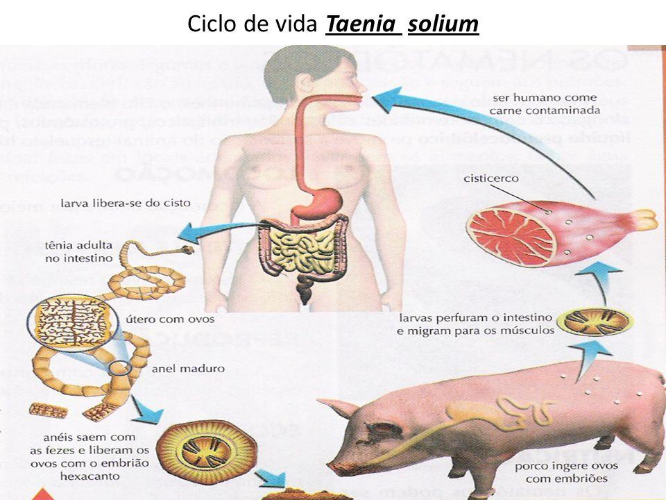 Ciclo de vida Taenia solium