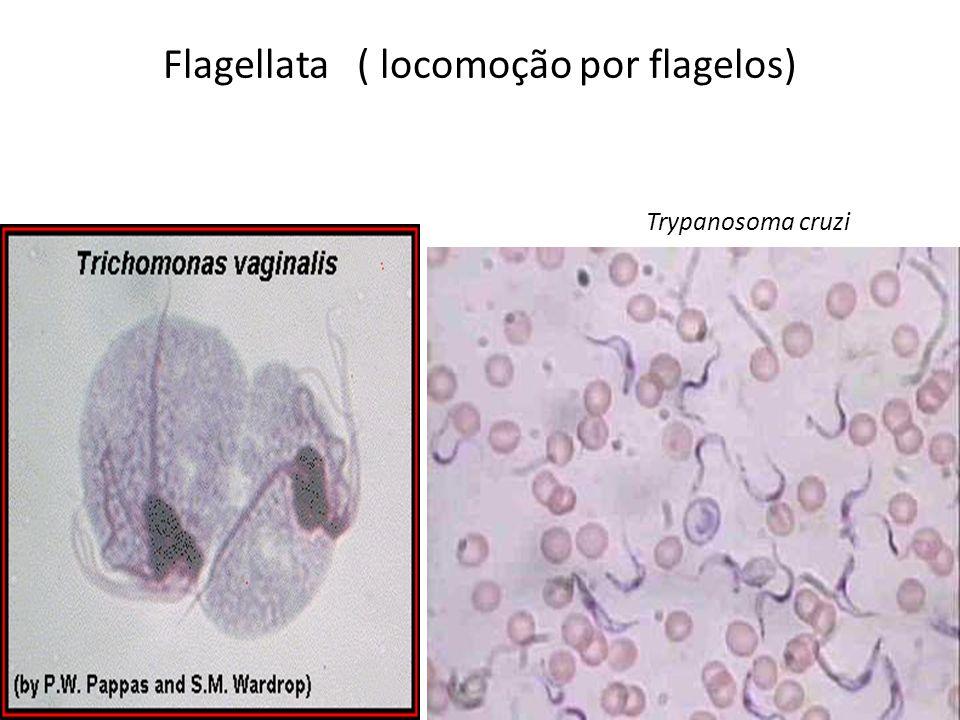 Flagellata ( locomoção por flagelos) Trypanosoma cruzi