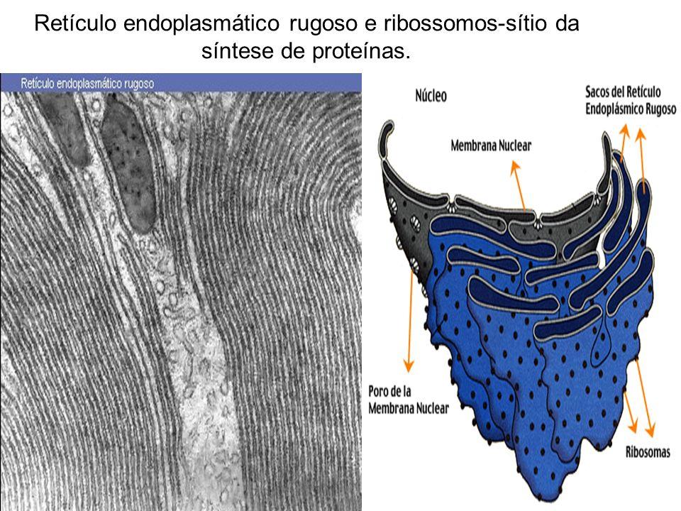 Retículo endoplasmático rugoso e ribossomos-sítio da síntese de proteínas.