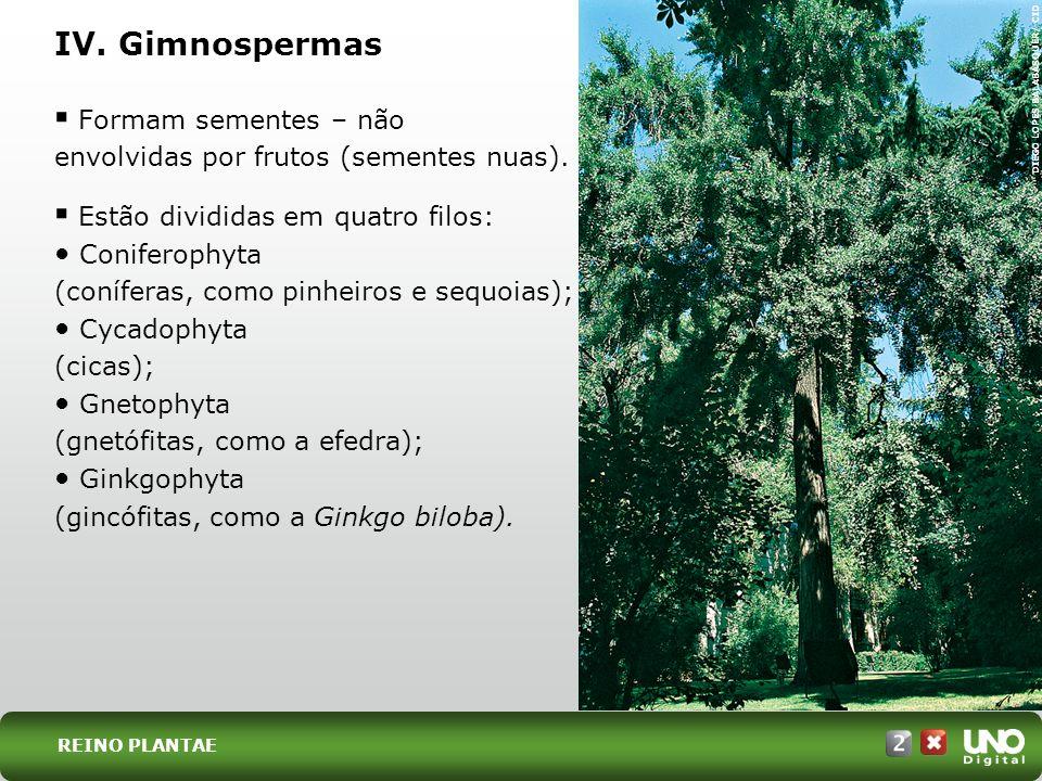 Formam sementes – não envolvidas por frutos (sementes nuas). Estão divididas em quatro filos: Coniferophyta (coníferas, como pinheiros e sequoias); Cy