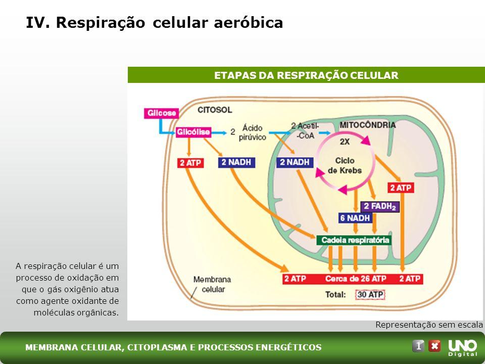 IV. Respiração celular aeróbica Representação sem escala A respiração celular é um processo de oxidação em que o gás oxigênio atua como agente oxidant
