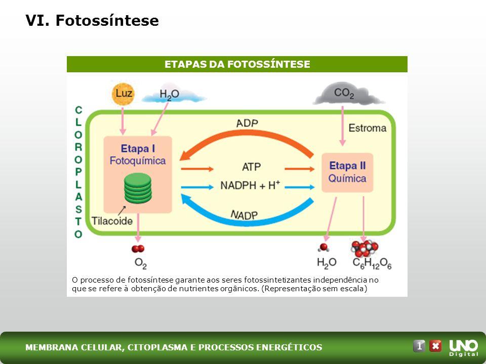 VI. Fotossíntese ETAPAS DA FOTOSSÍNTESE O processo de fotossíntese garante aos seres fotossintetizantes independência no que se refere à obtenção de n