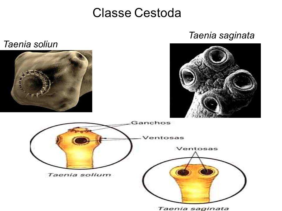 Classe Trematoda Schistosoma mansoni ovo cercaria