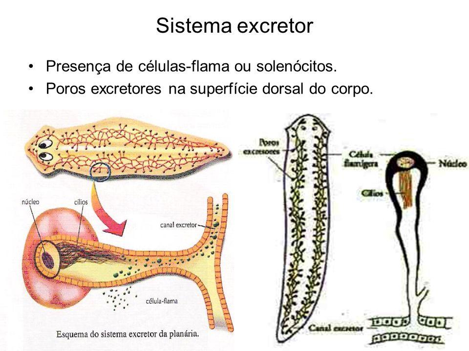 Sistema Nervoso Presença de um par de gânglios cerebrais ligados a dois cordões nervosos longitudinais.