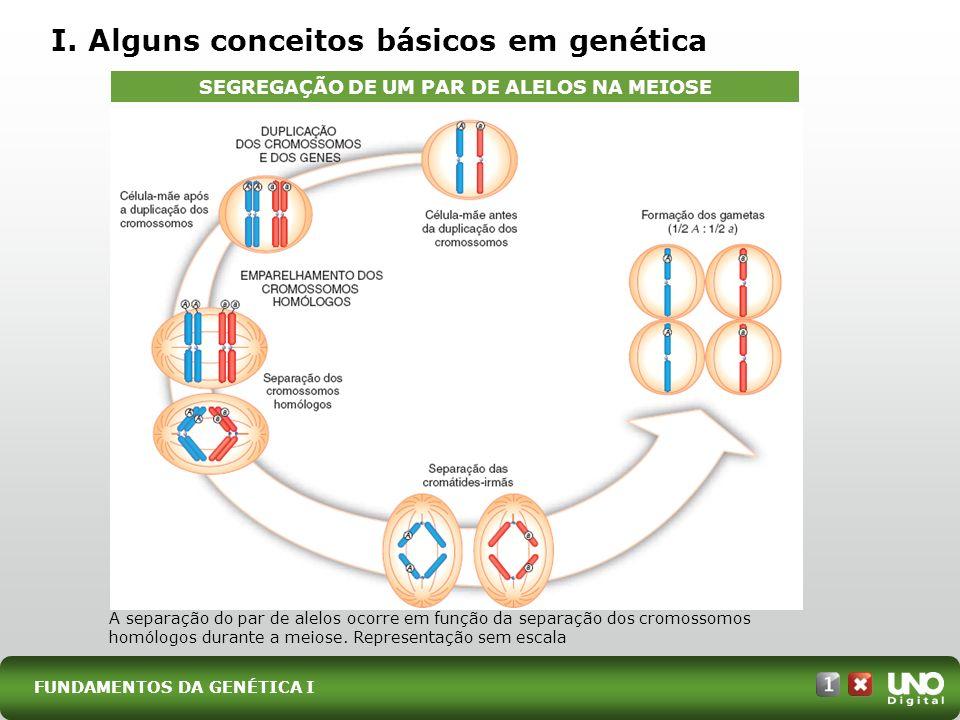 FUNDAMENTOS DA GENÉTICA I I. Alguns conceitos básicos em genética A separação do par de alelos ocorre em função da separação dos cromossomos homólogos