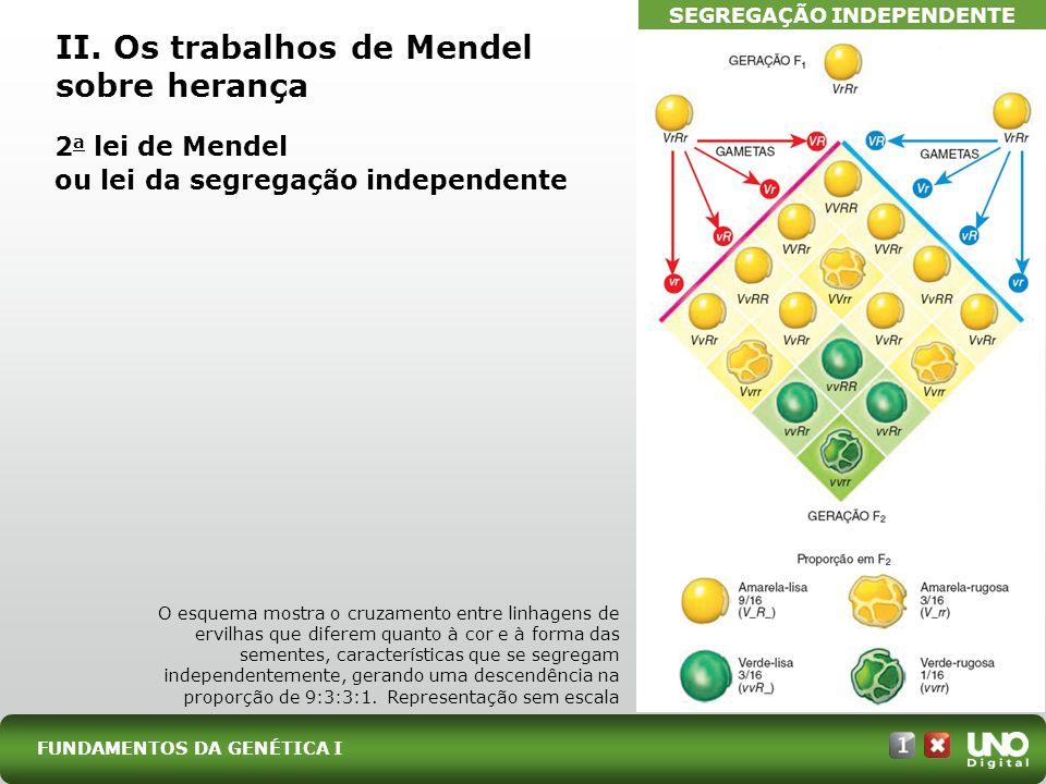 2 a lei de Mendel ou lei da segregação independente FUNDAMENTOS DA GENÉTICA I II. Os trabalhos de Mendel sobre herança O esquema mostra o cruzamento e