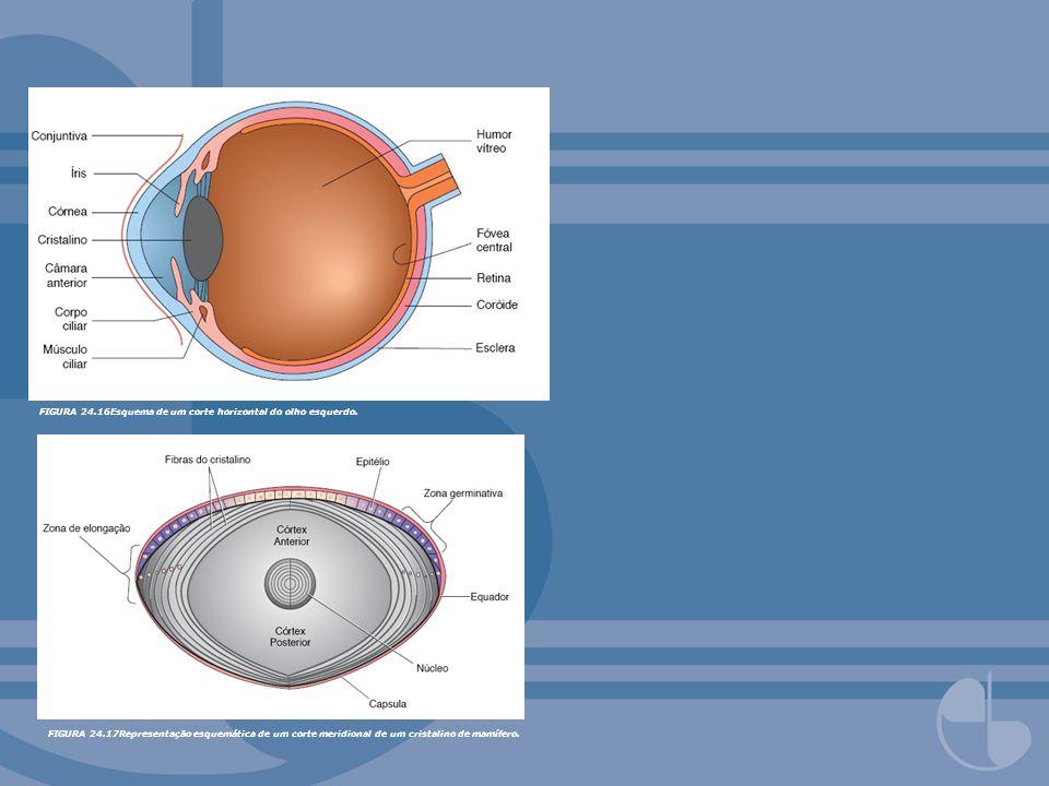 FIGURA 24.16Esquema de um corte horizontal do olho esquerdo. FIGURA 24.17Representação esquemática de um corte meridional de um cristalino de mamífero
