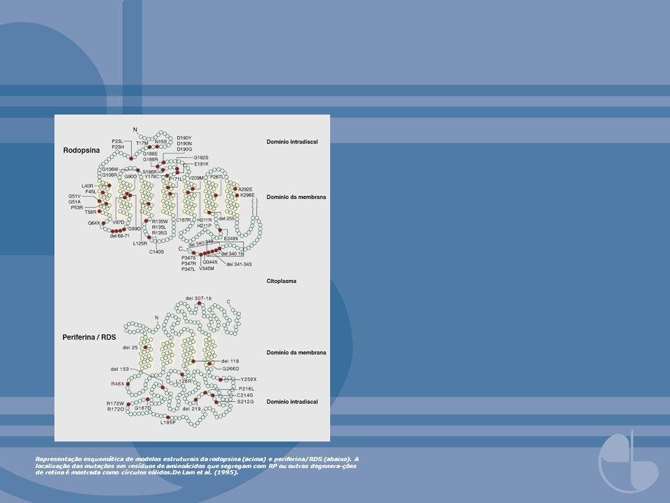 Representação esquemática de modelos estruturais da rodopsina (acima) e periferina/RDS (abaixo). A localização das mutações em resíduos de aminoácidos
