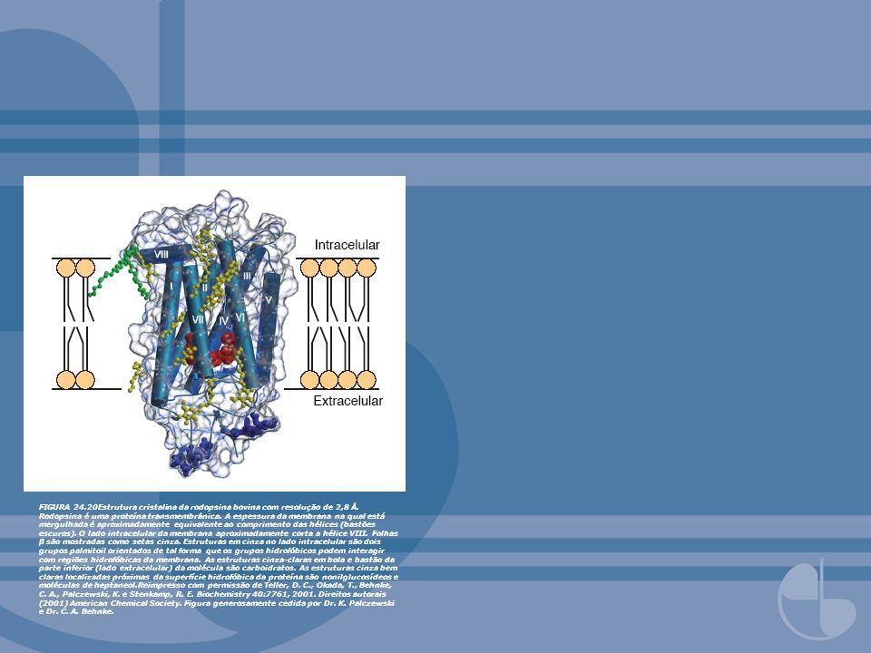 FIGURA 24.20Estrutura cristalina da rodopsina bovina com resolução de 2,8 Å. Rodopsina é uma proteína transmembrânica. A espessura da membrana na qual