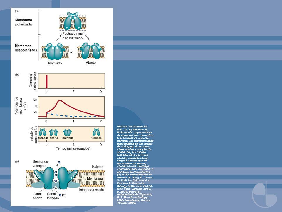 FIGURA 24.2Canais de Na+. (a, b) Abertura e fechamento esquemáticos de canais de Na+ durante a transmissão do impulso nervoso. (c) Representação esque