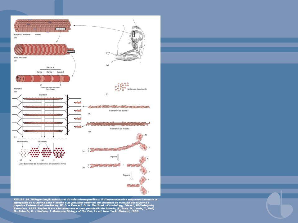 FIGURA 24.29Organização estrutural do músculo esquelético. O diagrama mostra esquematicamente a agregação de G-actina para F-actina e as posições rela