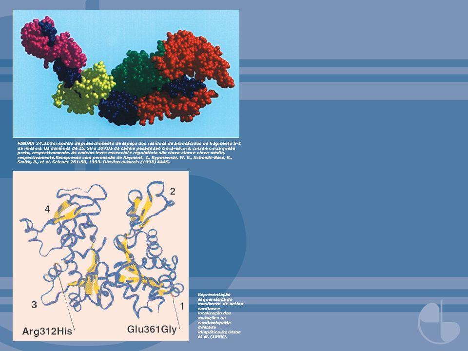 FIGURA 24.31Um modelo de preenchimento de espaço dos resíduos de aminoácidos no fragmento S-1 da miosina. Os domínios de 25, 50 e 20 kDa da cadeia pes