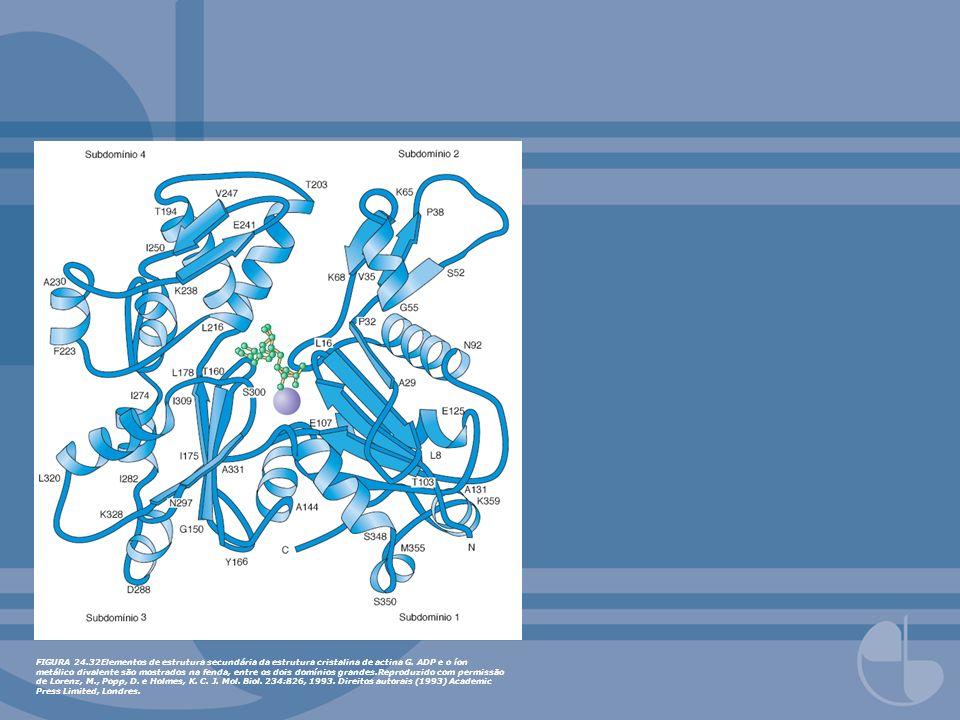 FIGURA 24.32Elementos de estrutura secundária da estrutura cristalina de actina G. ADP e o íon metálico divalente são mostrados na fenda, entre os doi