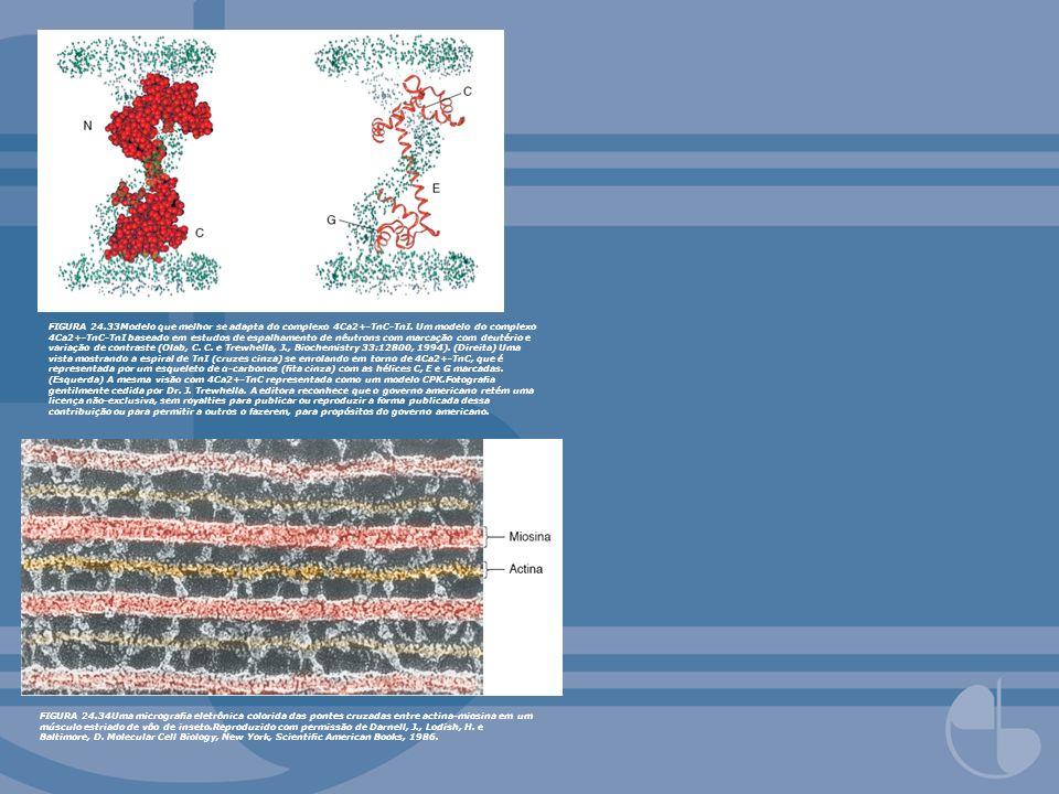FIGURA 24.33Modelo que melhor se adapta do complexo 4Ca2+-TnC-TnI. Um modelo do complexo 4Ca2+-TnC-TnI baseado em estudos de espalhamento de nêutrons