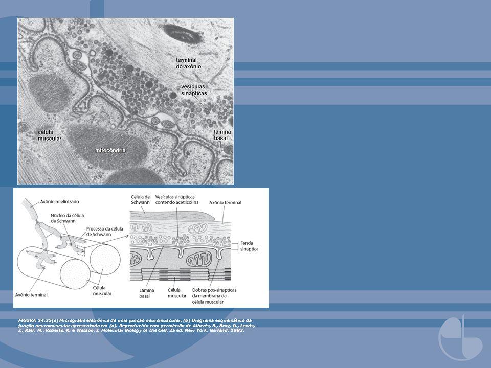 FIGURA 24.35(a) Micrograa eletrônica de uma junção neuromuscular. (b) Diagrama esquemático da junção neuromuscular apresentada em (a). Reproduzido com