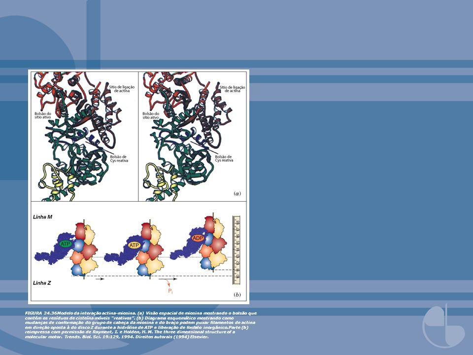 FIGURA 24.36Modelo da interação actina-miosina. (a) Visão espacial de miosina mostrando o bolsão que contém os resíduos de cisteína móveis reativos. (