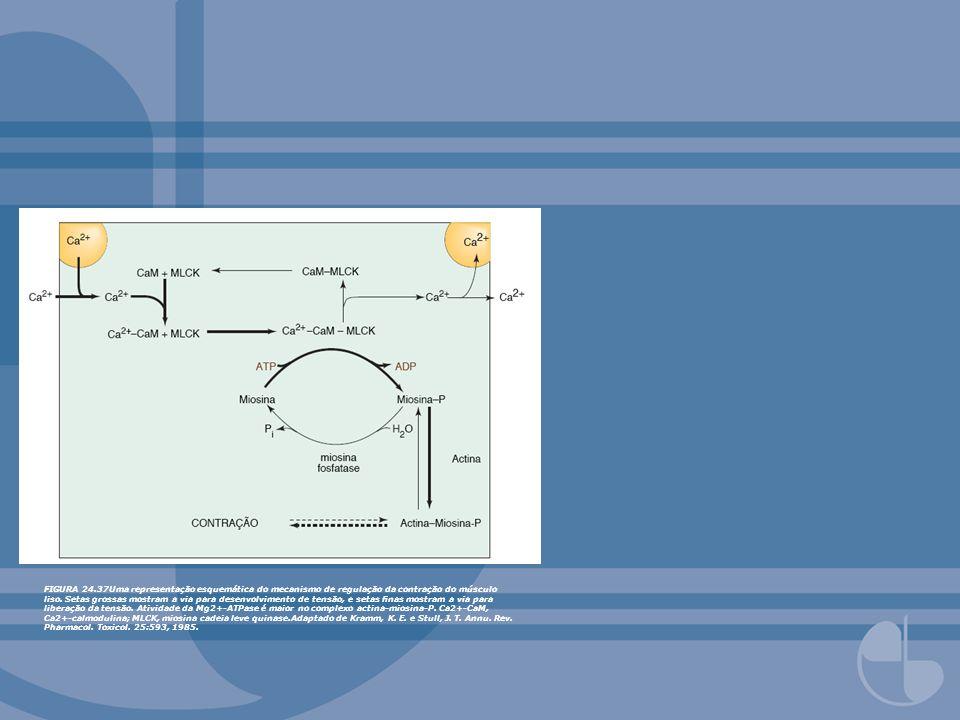 FIGURA 24.37Uma representação esquemática do mecanismo de regulação da contração do músculo liso. Setas grossas mostram a via para desenvolvimento de