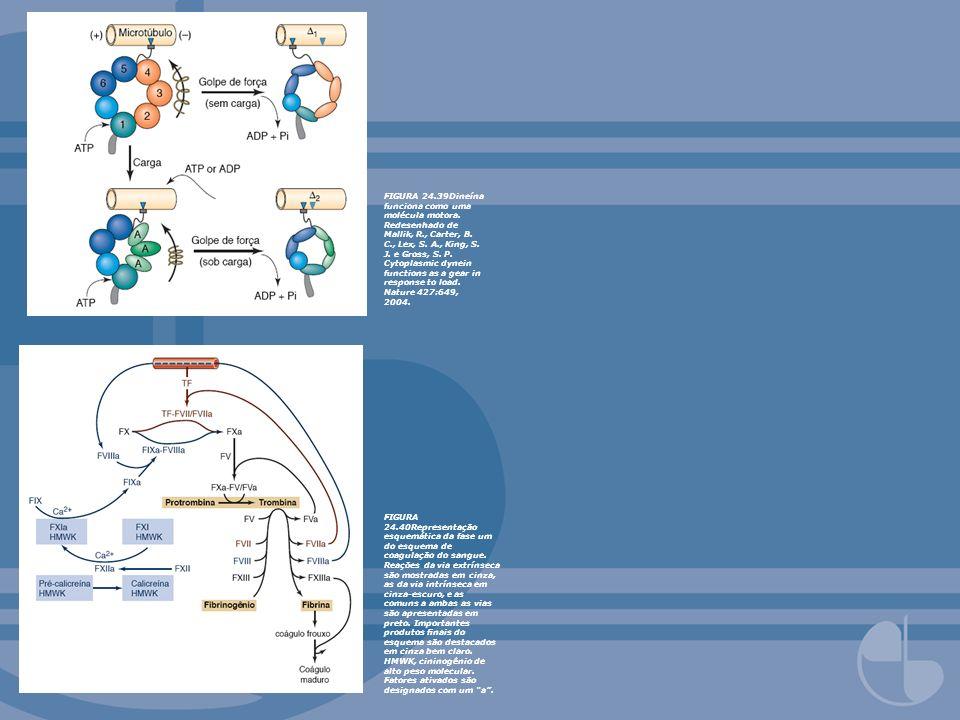 FIGURA 24.39Dineína funciona como uma molécula motora. Redesenhado de Mallik, R., Carter, B. C., Lex, S. A., King, S. J. e Gross, S. P. Cytoplasmic dy