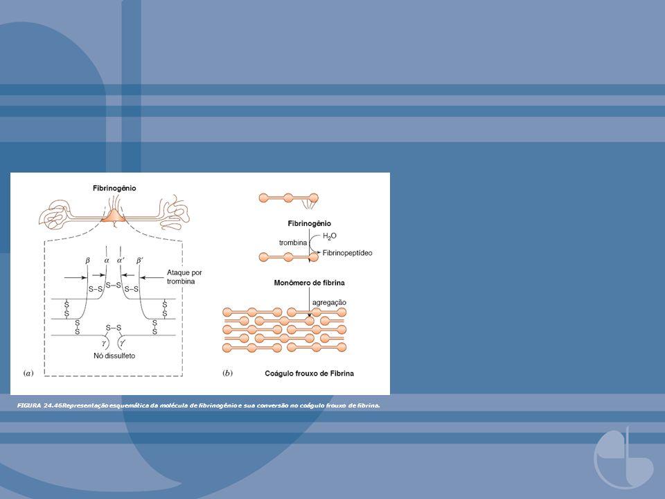 FIGURA 24.46Representação esquemática da molécula de brinogênio e sua conversão no coágulo frouxo de brina.