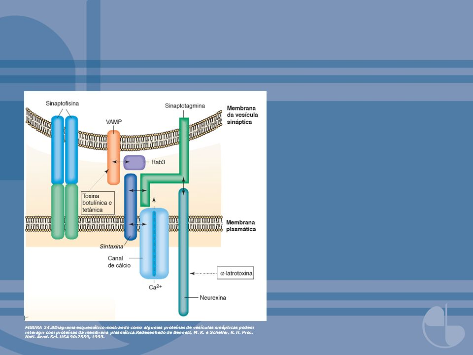 FIGURA 24.8Diagrama esquemático mostrando como algumas proteínas de vesículas sinápticas podem interagir com proteínas da membrana plasmática.Redesenh
