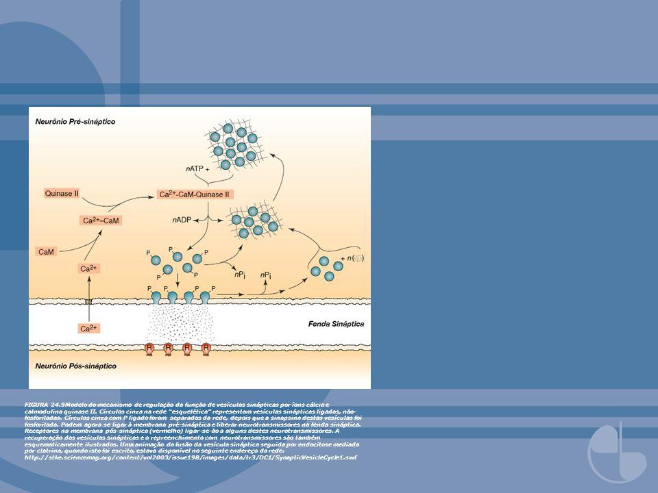 FIGURA 24.9Modelo do mecanismo de regulação da função de vesículas sinápticas por íons cálcio e calmodulina quinase II. Círculos cinza na rede esquelé