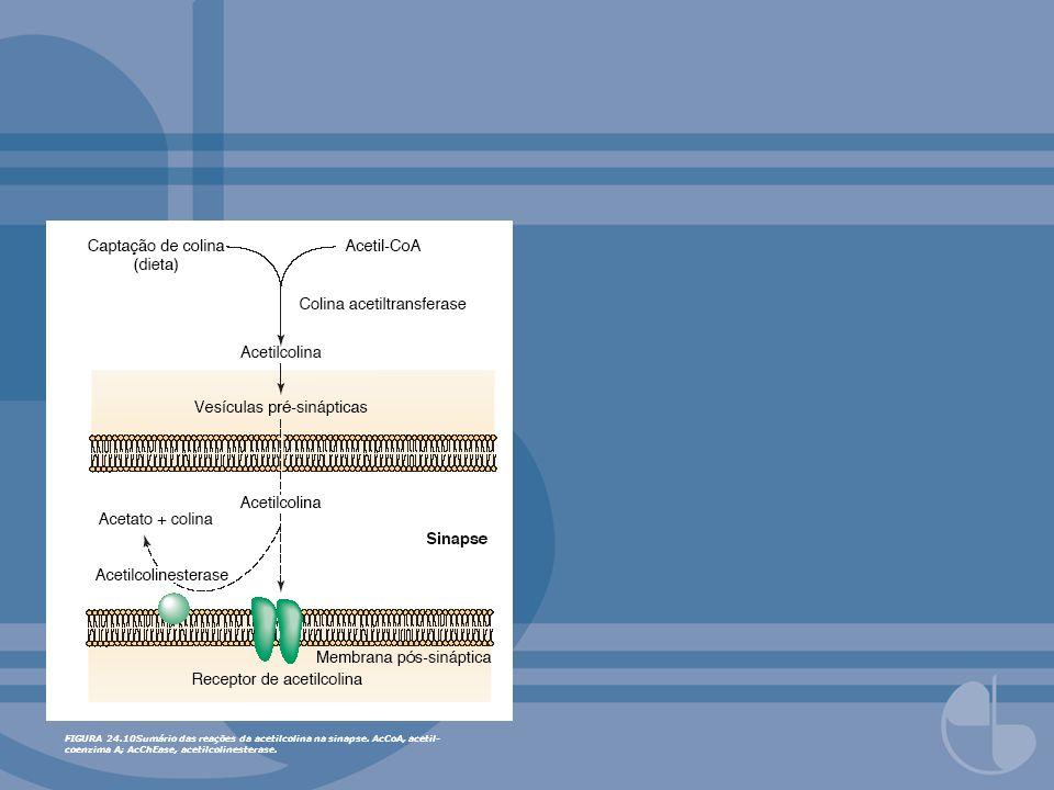 FIGURA 24.10Sumário das reações da acetilcolina na sinapse. AcCoA, acetil- coenzima A; AcChEase, acetilcolinesterase.