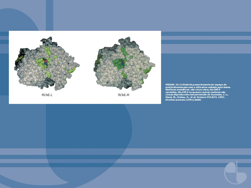 FIGURA 24.11Visão de preenchimento de espaço da acetilcolinesterase com o sítio ativo voltado para baixo. Resíduos aromáticos são cinza-claro, Ser200