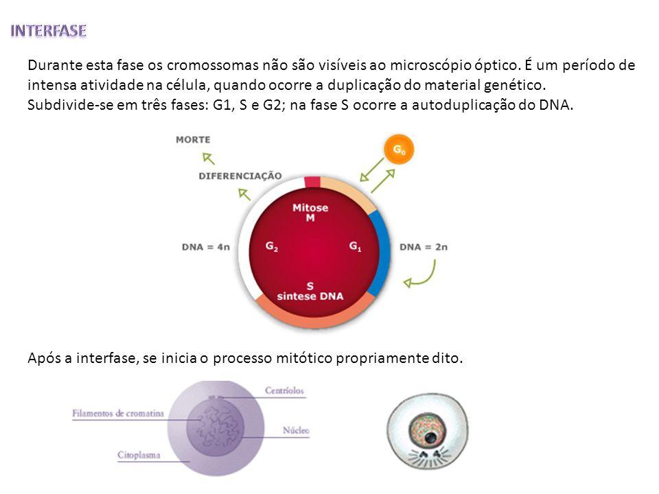 Durante esta fase os cromossomas não são visíveis ao microscópio óptico. É um período de intensa atividade na célula, quando ocorre a duplicação do ma