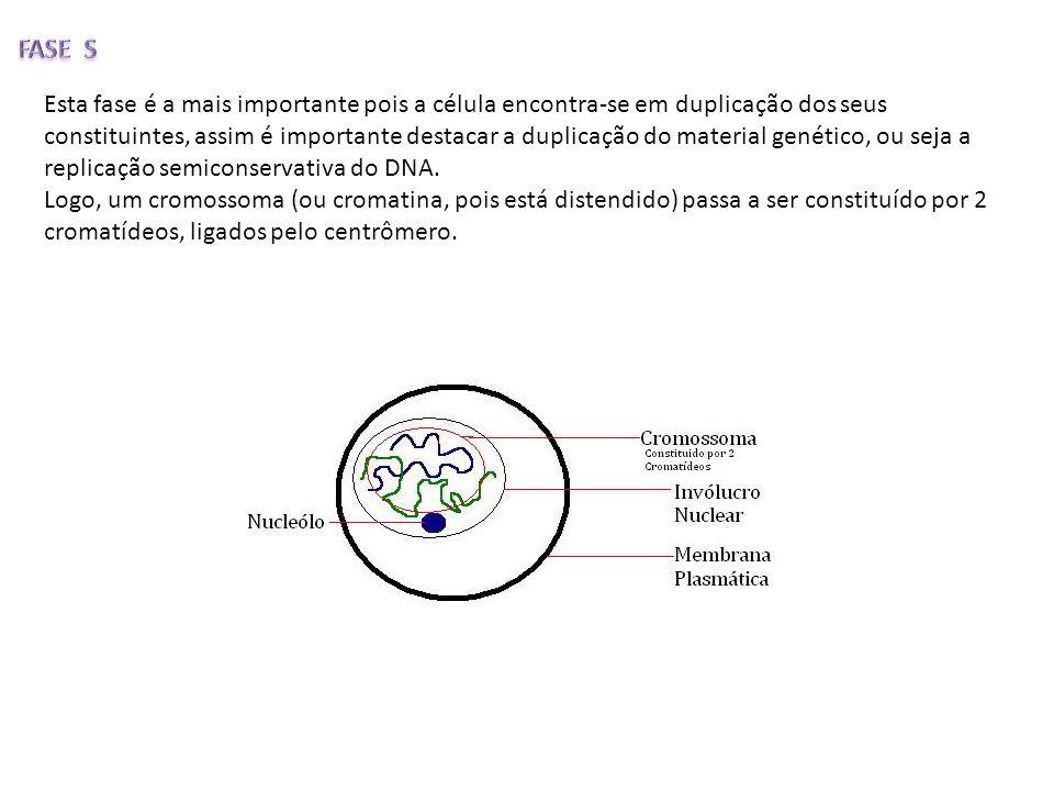 Esta fase é a mais importante pois a célula encontra-se em duplicação dos seus constituintes, assim é importante destacar a duplicação do material gen