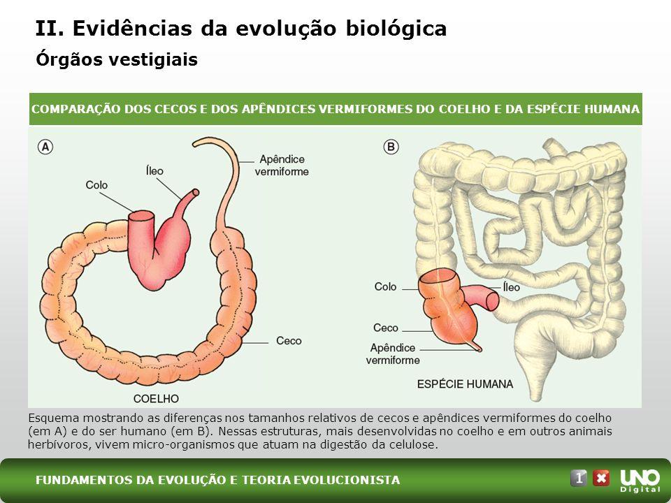 II. Evidências da evolução biológica Órgãos vestigiais Esquema mostrando as diferenças nos tamanhos relativos de cecos e apêndices vermiformes do coel
