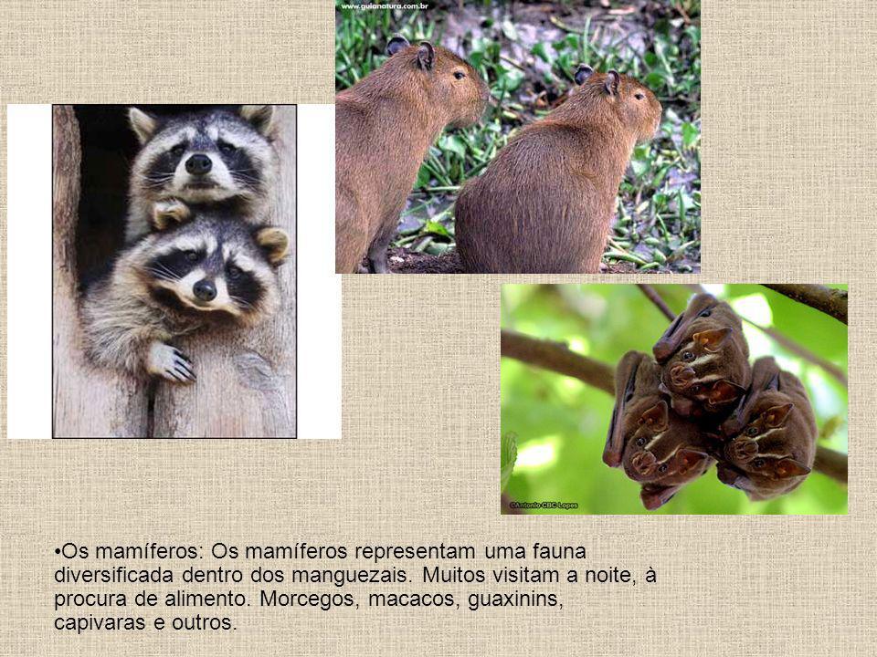 Os mamíferos: Os mamíferos representam uma fauna diversificada dentro dos manguezais. Muitos visitam a noite, à procura de alimento. Morcegos, macacos