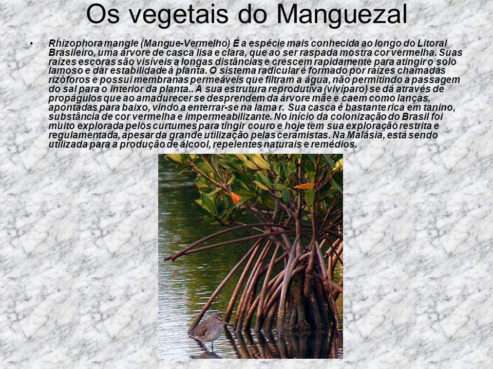 Os vegetais do Manguezal Rhizophora mangle (Mangue-Vermelho) É a espécie mais conhecida ao longo do Litoral Brasileiro, uma árvore de casca lisa e cla