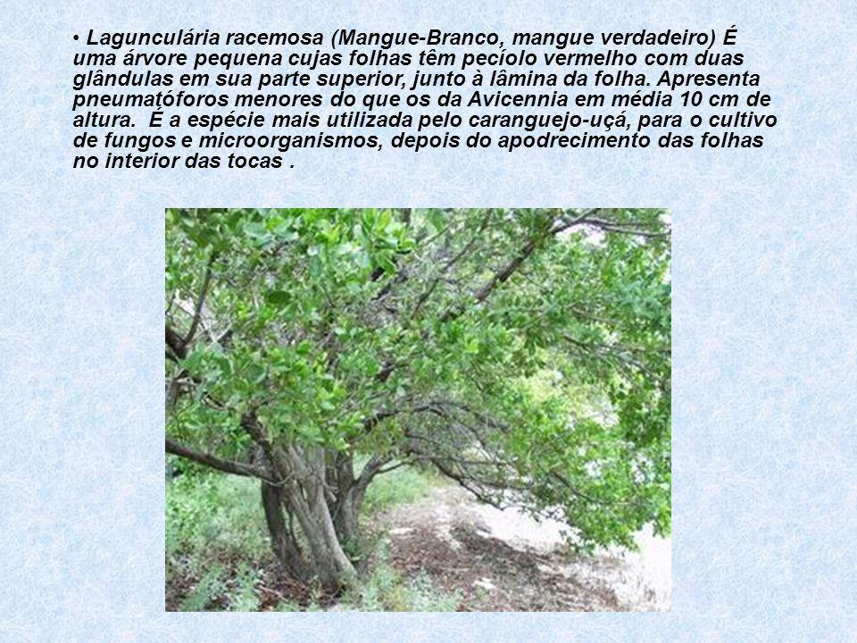 Lagunculária racemosa (Mangue-Branco, mangue verdadeiro) É uma árvore pequena cujas folhas têm pecíolo vermelho com duas glândulas em sua parte superi