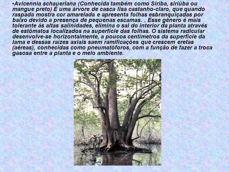 Avicennia schaueriana (Conhecida também como Siriba, siriúba ou mangue preto) É uma árvore de casca lisa castanho-claro, que quando raspada mostra cor