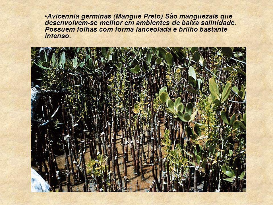 Avicennia germinas (Mangue Preto) São manguezais que desenvolvem-se melhor em ambientes de baixa salinidade. Possuem folhas com forma lanceolada e bri