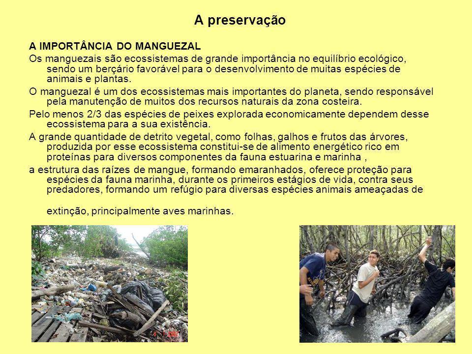 A preservação A IMPORTÂNCIA DO MANGUEZAL Os manguezais são ecossistemas de grande importância no equilíbrio ecológico, sendo um berçário favorável par