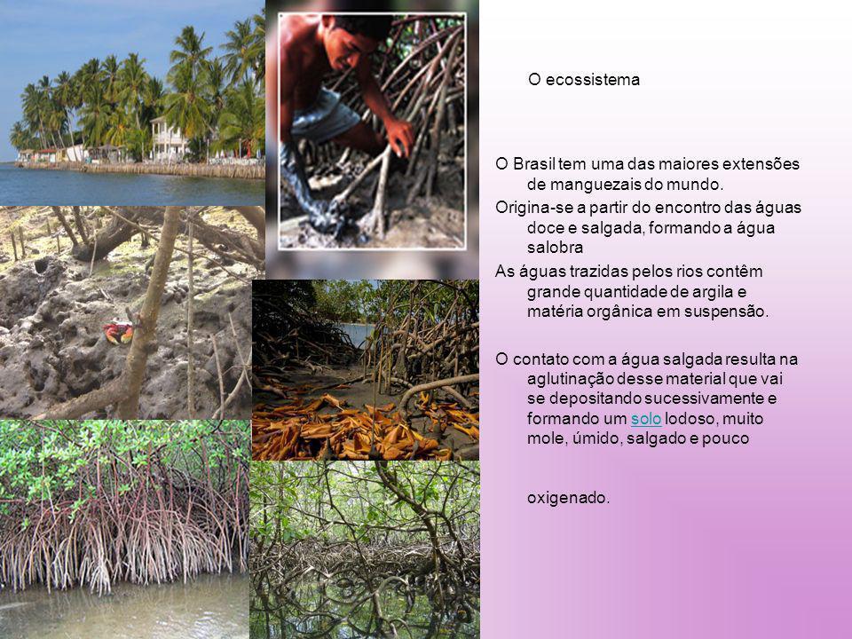 O ecossistema O Brasil tem uma das maiores extensões de manguezais do mundo. Origina-se a partir do encontro das águas doce e salgada, formando a água
