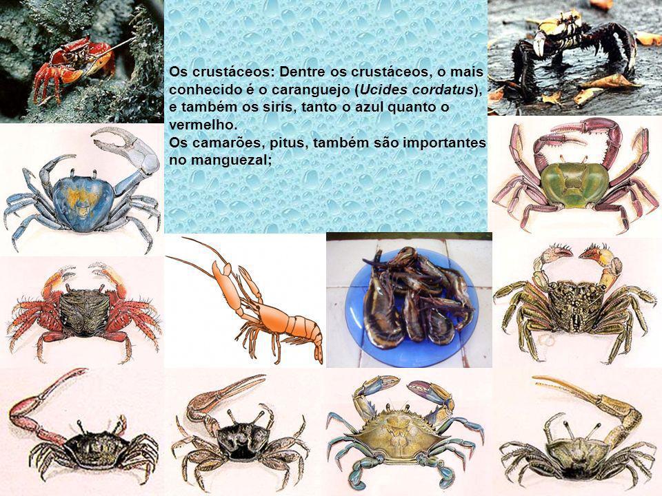 Os crustáceos: Dentre os crustáceos, o mais conhecido é o caranguejo (Ucides cordatus), e também os siris, tanto o azul quanto o vermelho. Os camarões