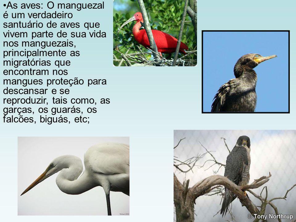 As aves: O manguezal é um verdadeiro santuário de aves que vivem parte de sua vida nos manguezais, principalmente as migratórias que encontram nos man