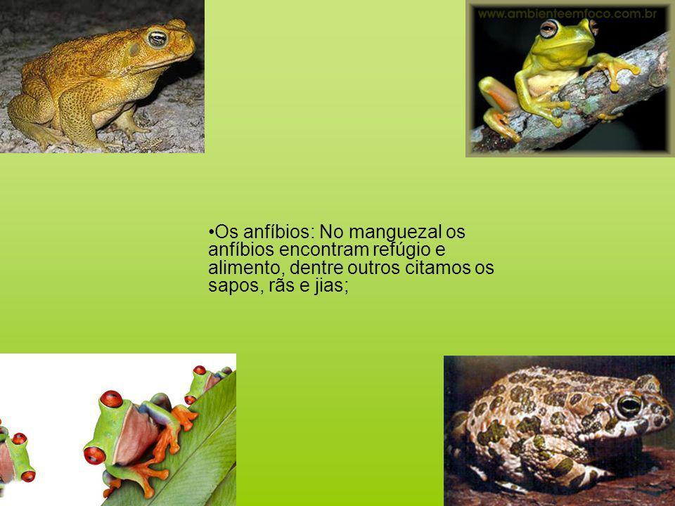 Os anfíbios: No manguezal os anfíbios encontram refúgio e alimento, dentre outros citamos os sapos, rãs e jias;