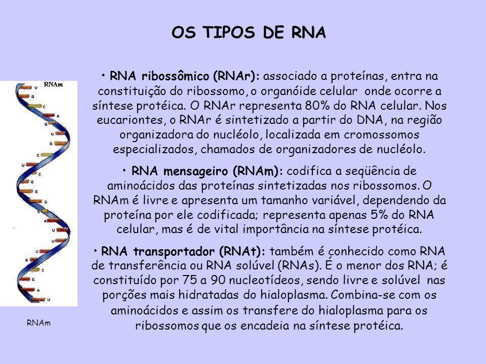 OS TIPOS DE RNA RNA ribossômico (RNAr): associado a proteínas, entra na constituição do ribossomo, o organóide celular onde ocorre a síntese protéica.