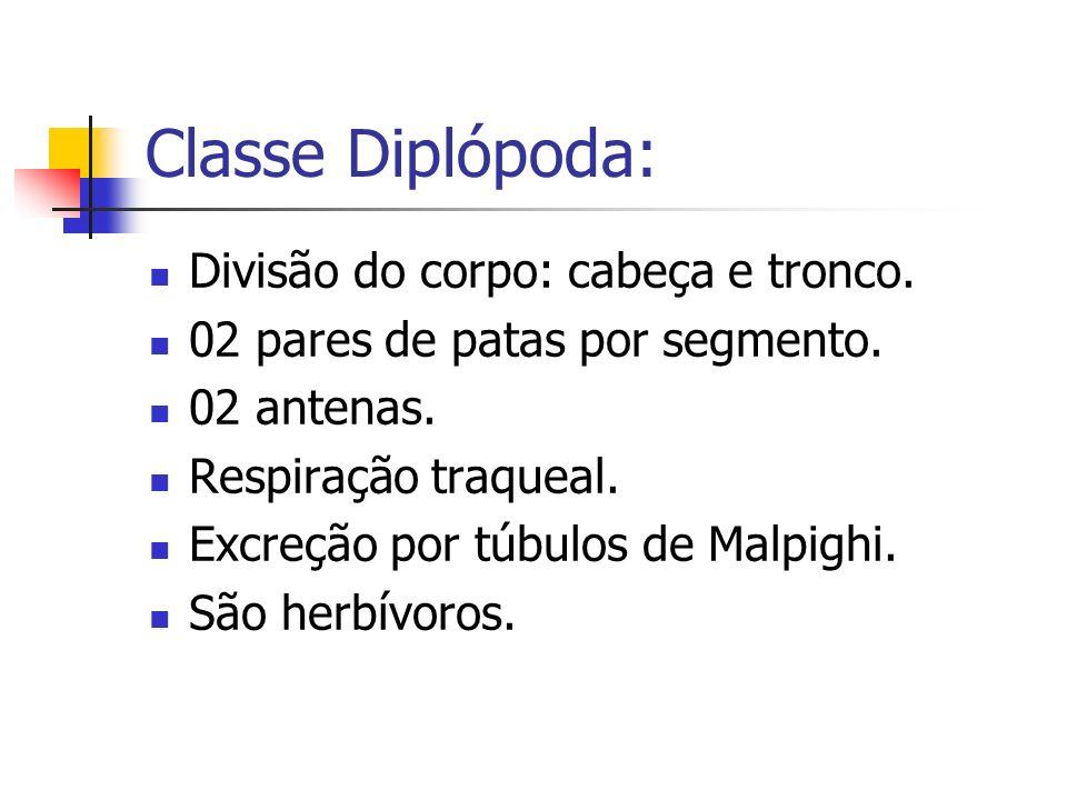 Classe Diplópoda: Divisão do corpo: cabeça e tronco. 02 pares de patas por segmento. 02 antenas. Respiração traqueal. Excreção por túbulos de Malpighi