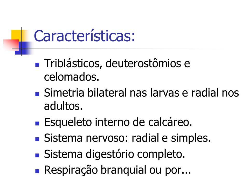 Características: Triblásticos, deuterostômios e celomados. Simetria bilateral nas larvas e radial nos adultos. Esqueleto interno de calcáreo. Sistema