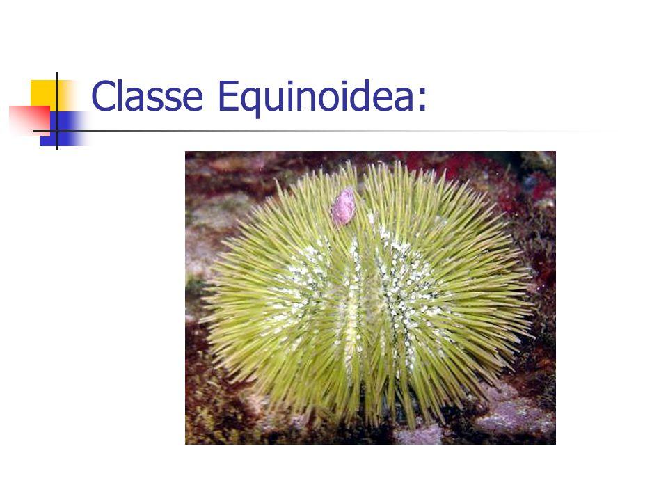 Classe Equinoidea: