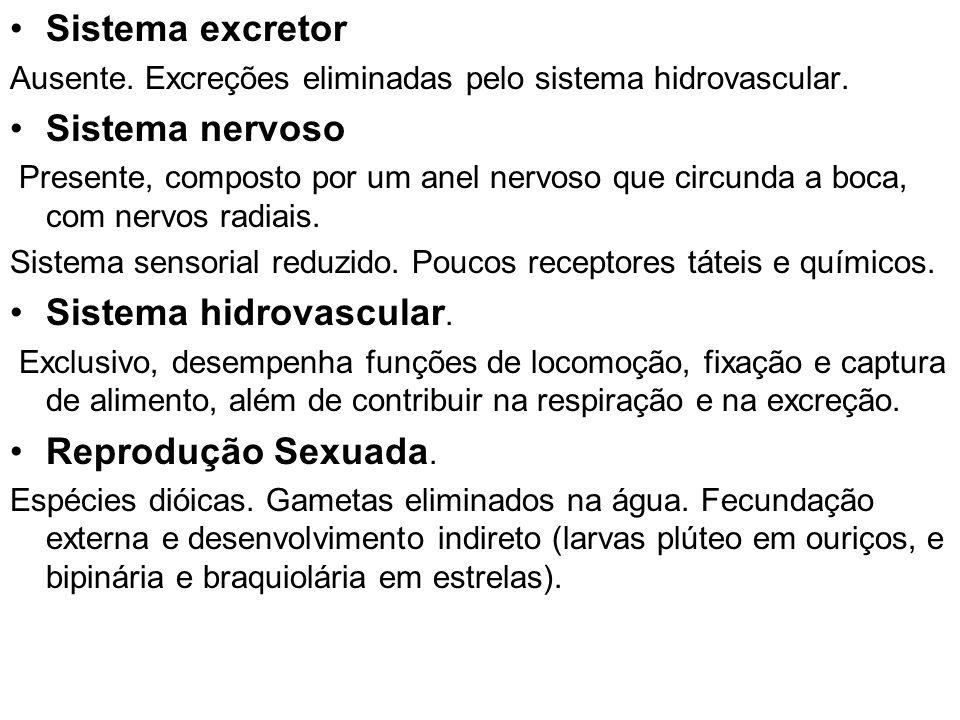 Sistema excretor Ausente. Excreções eliminadas pelo sistema hidrovascular. Sistema nervoso Presente, composto por um anel nervoso que circunda a boca,