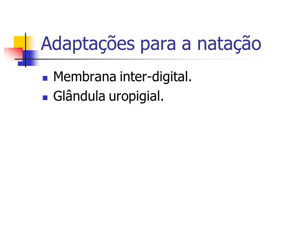Adaptações para a natação Membrana inter-digital. Glândula uropigial.