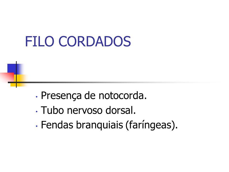Protocordados Sub-filo Cefalocordados: notocorda que se estende da cabeça à cauda, presente ainda no adulto.