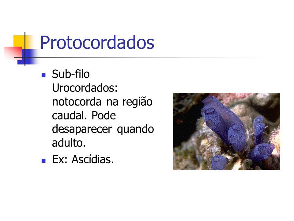 Protocordados Sub-filo Urocordados: notocorda na região caudal. Pode desaparecer quando adulto. Ex: Ascídias.